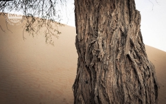 The Ghaf Trees
